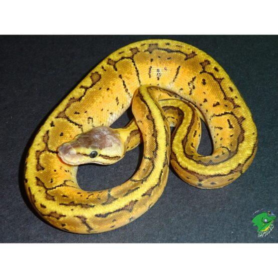 Mocha Lemonblast Ball Python baby
