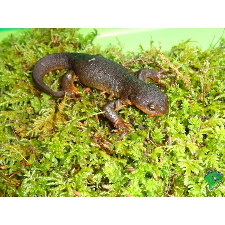 Rough Skin Newt on moss