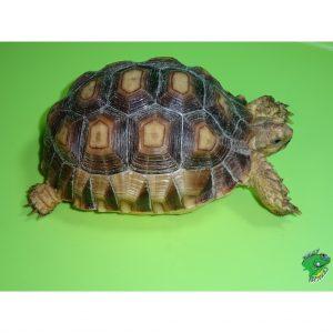 Sulcata Tortoise 5 inch