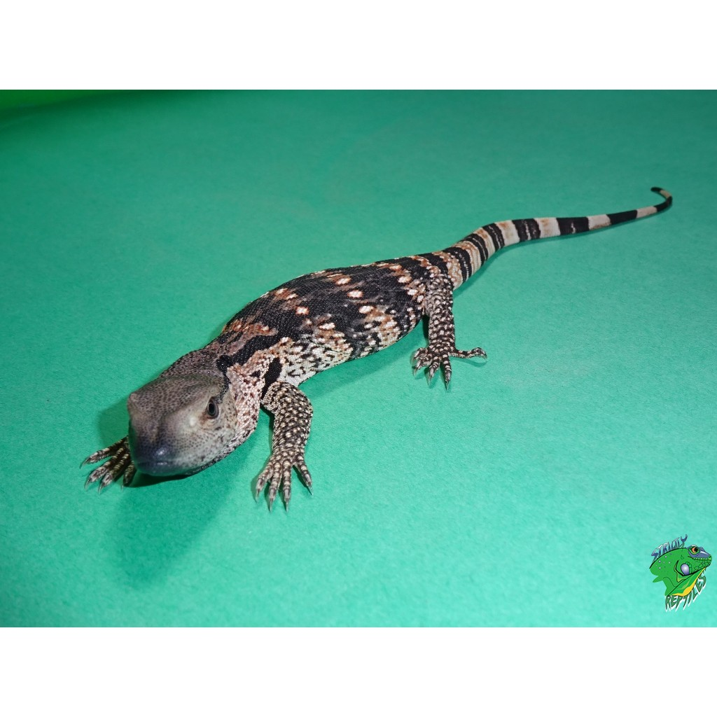 Cape Banded White Throat Monitor Cb Juvenile Strictly Reptiles