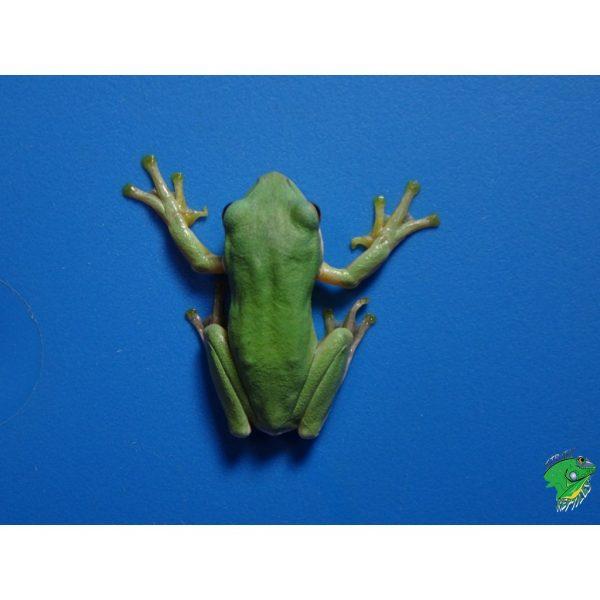 Blue Gliding Frog hands up