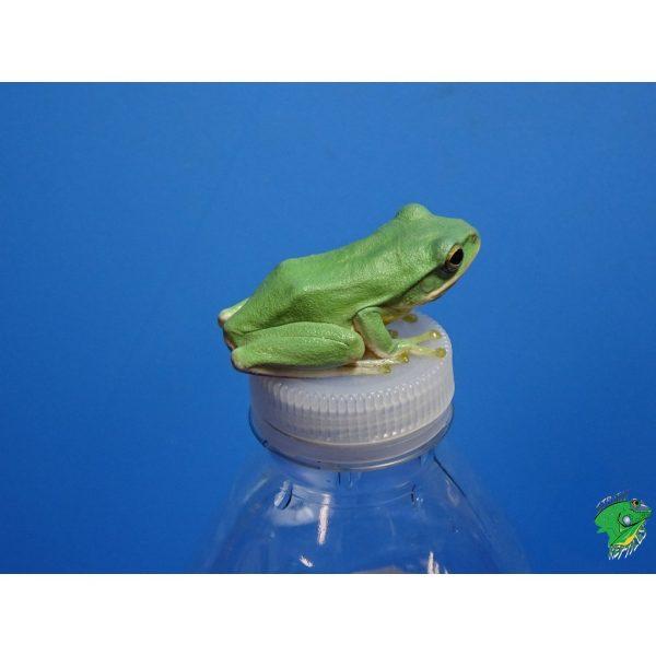 Blue Gliding frog on bottle top