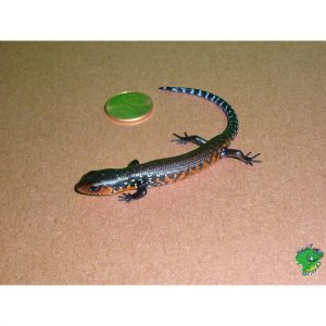 Fire Skink baby