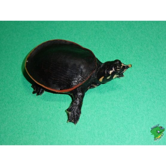 Florida Softshell turtle baby