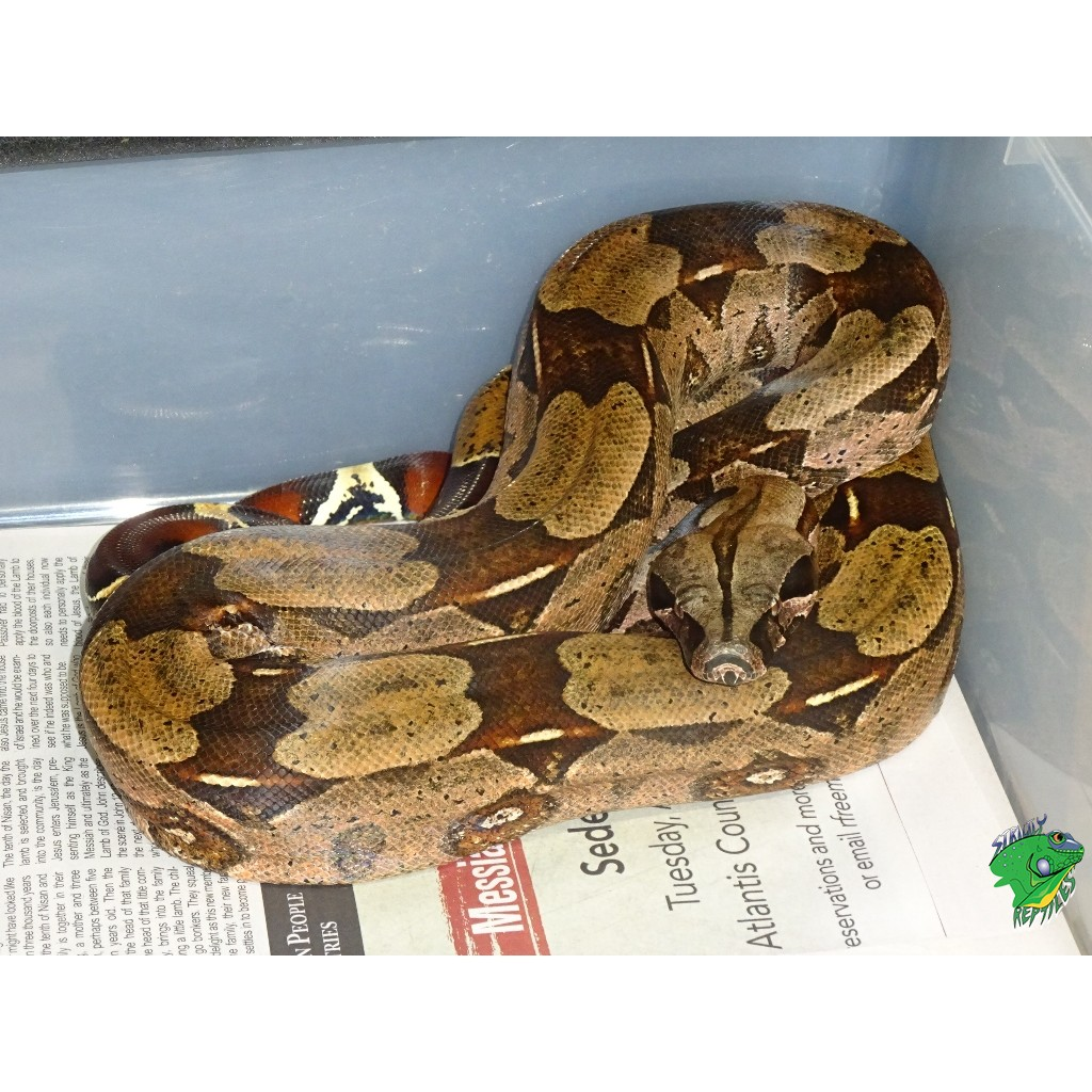 Guyana Red Tail Boa - 5 to 6 foot