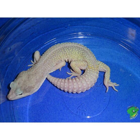 Leopard Gecko Blizzard adult