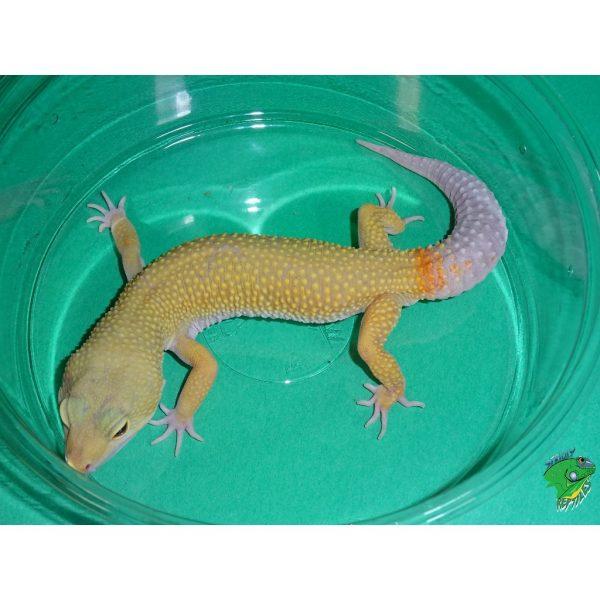 Leopard Gecko Leucistic adult