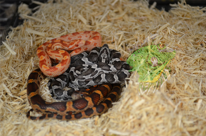 Baby Corn Snakes For Sale