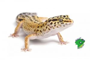 Buy Lizards Online