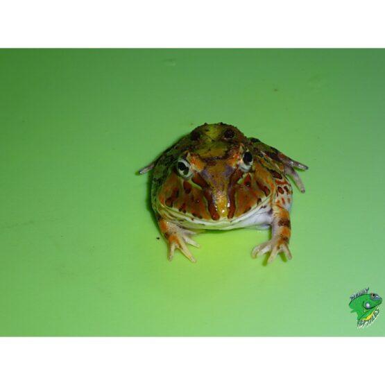 Brazilian Horn Frog face