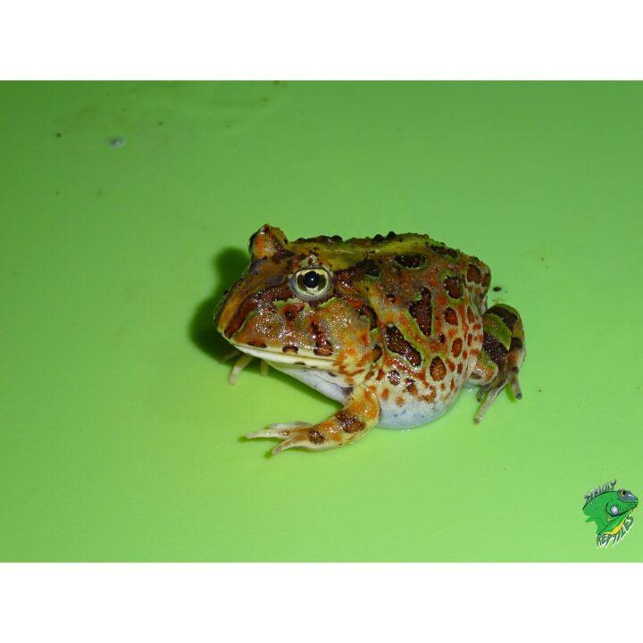 Brazilian Horn Frog