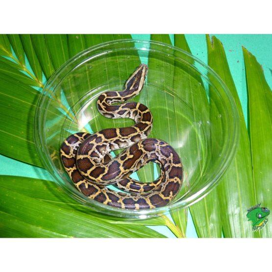Burmese python baby