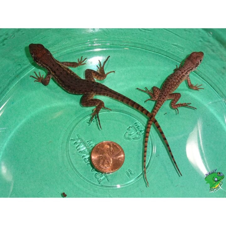 Curlytail Lizard babies vary
