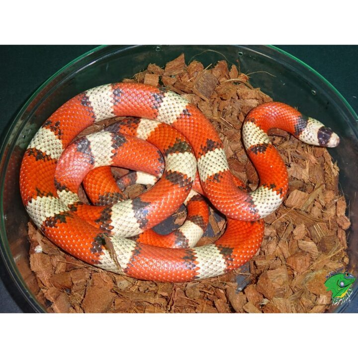 Hypo Tri Color Honduran Milk adult