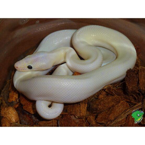 Leucistic Black Eyed Colombian Rainbow Boa baby