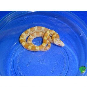 Saffron Motley Corn baby