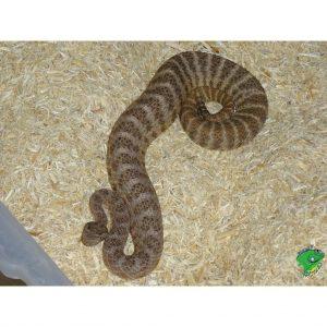 Tiger Rattle Snake juvenile