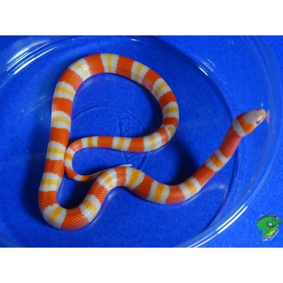 Albino Tangerine Honduran Milk baby