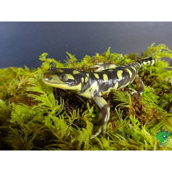 Barred Tiger Salamander happy face