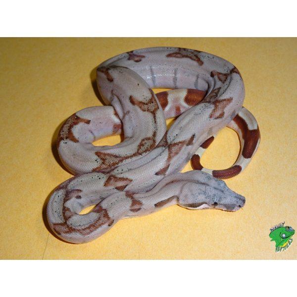 Boa constrictor Super Salmon