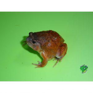 Burmese Squat Frog