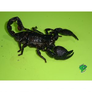 Emperor Scorpion FAT female