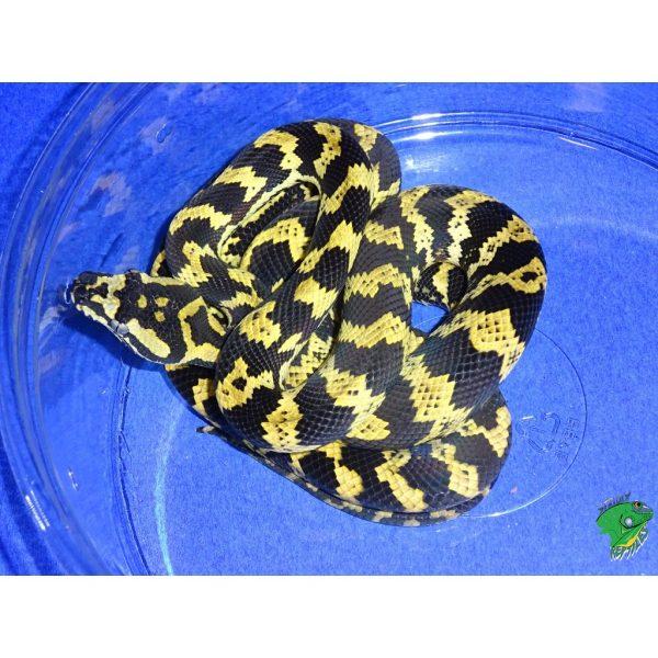 Jungle Carpet Python baby