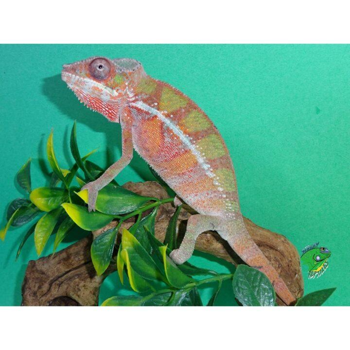 Panther Chameleon Ambilobe portside