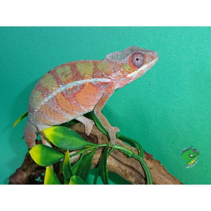 Panther Chameleon Ambilobe