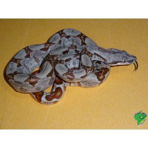 Pastel Hypo CA Boa