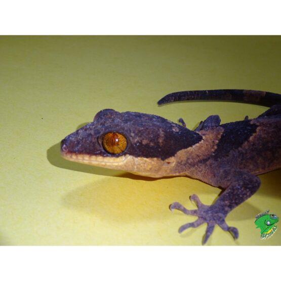 Ringtail Walking Gecko Eye