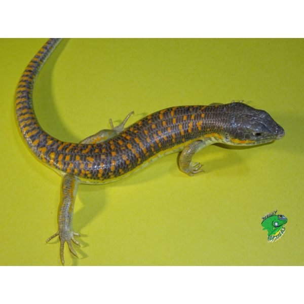 Schneider skinks vary color