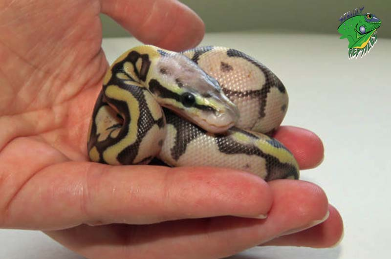 Baby Snakes for Sale