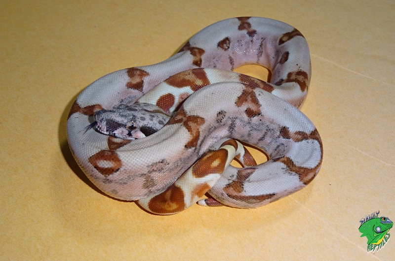 Exotic Snakes For Sale | Designer Baby Boas | Price List