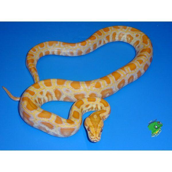 Albino Burmese Python baby