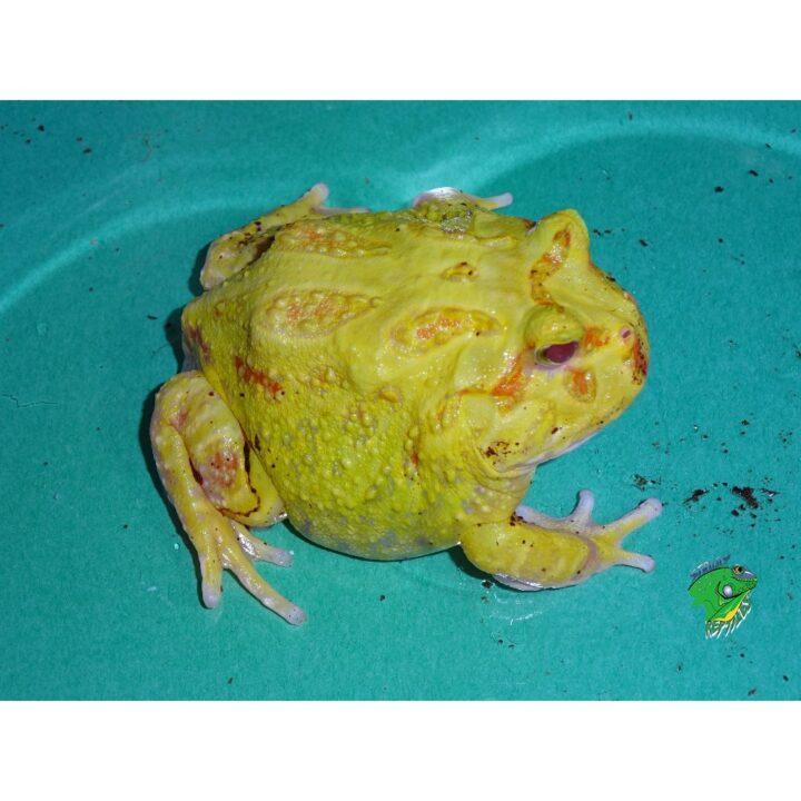 Albino Pacman medium