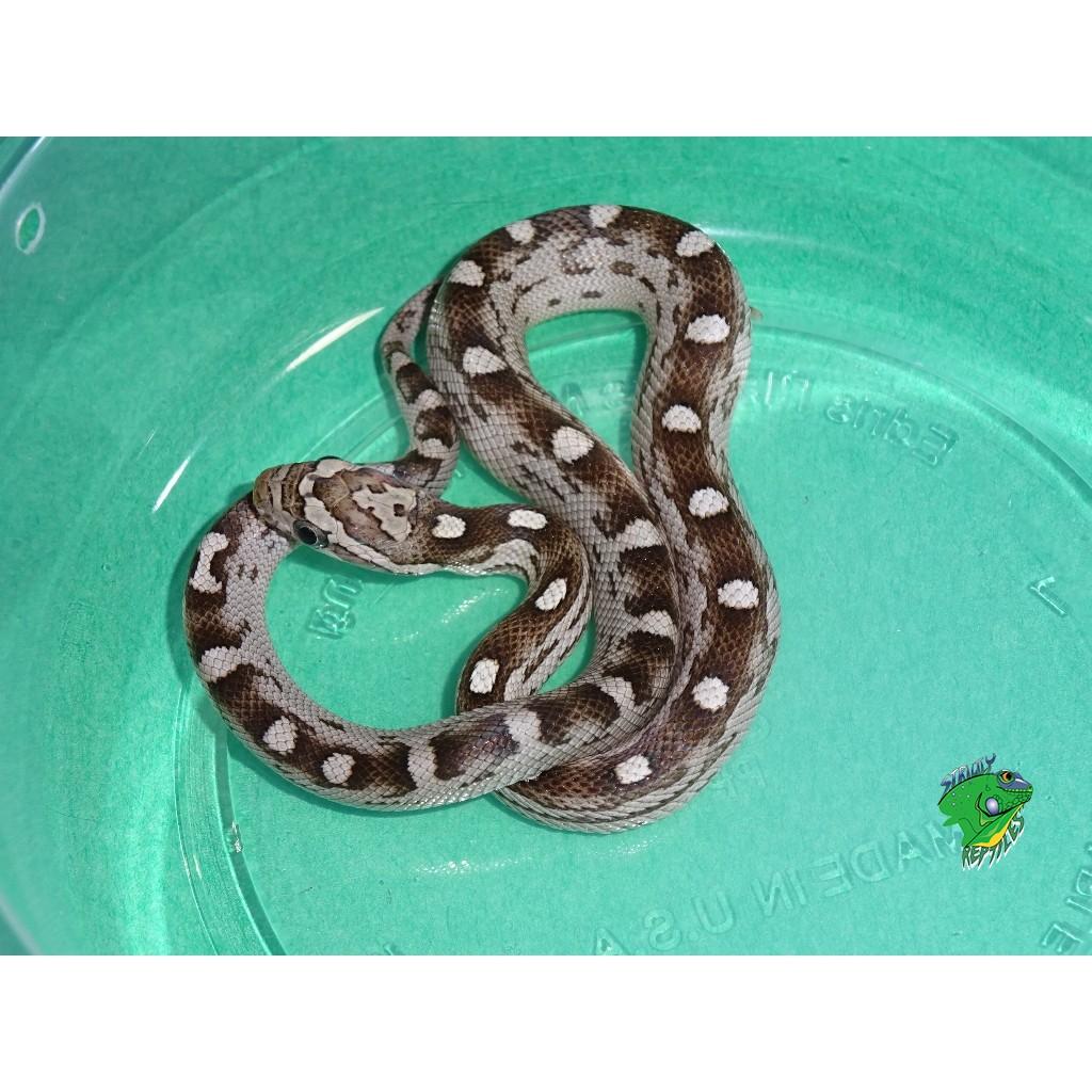 Black Albino(Anery) Hurricane Motley Corn Snake - baby