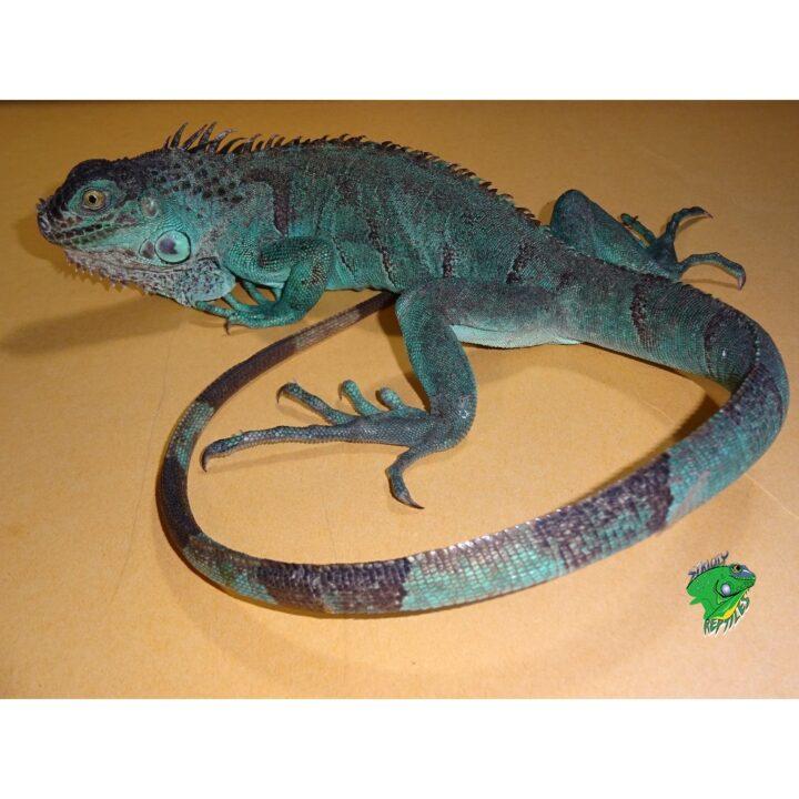 Blue Iguana 18 - 30 inch
