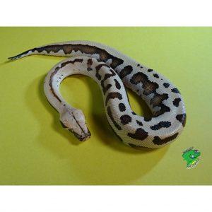 Golden Eyed Blood Python baby