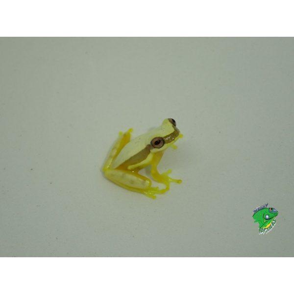 Peru Clown Tree Frog