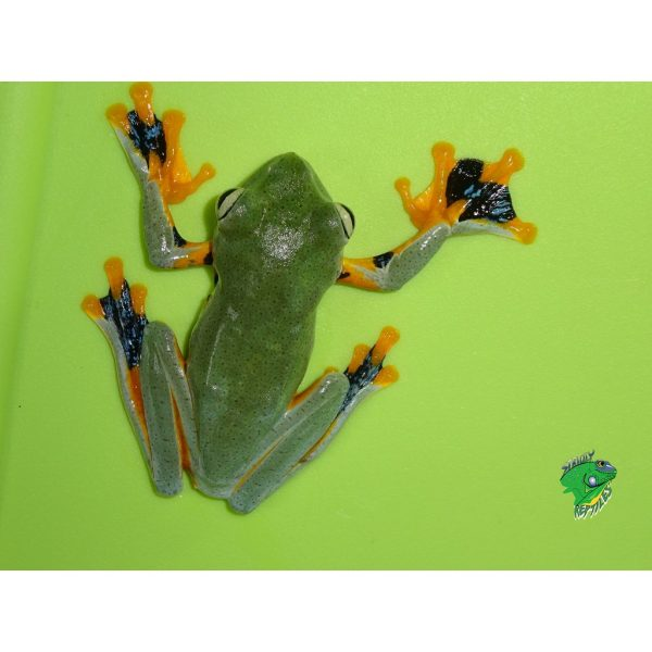 Reindwardts Flying Frog back