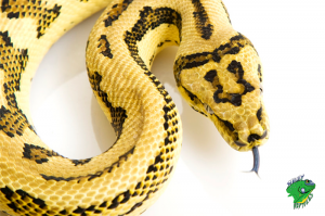 Cheap Snakes for Sale Online