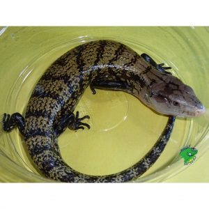 Ambon Blue Tongue Skink