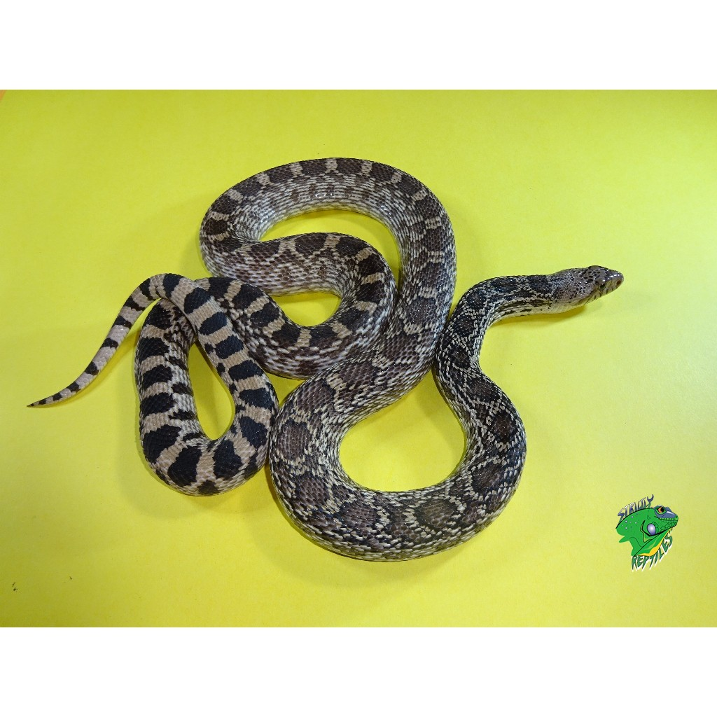 Axanthic Bull Snake Adult Strictly Reptiles