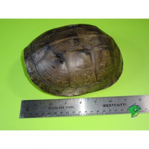 Asian Box Turtle adult 7 inch