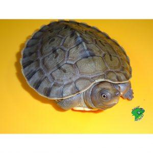 Borneo River Turtle 3 inch