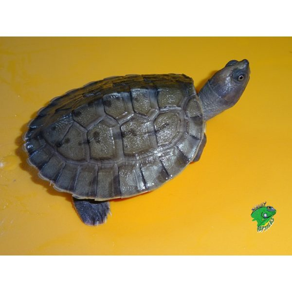 Borneo River Turtle side