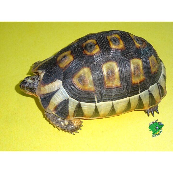Bowsprit Tortoise 4-5 inch