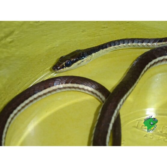 Bronze Back Snake face