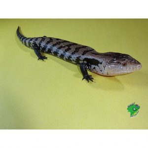 Halmahera Blue Tongue Silver Phase